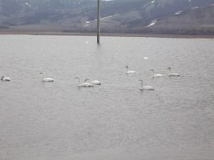 """Каждую весну к нам в гости прилетают лебеди на озеро """"Сургуяз"""""""